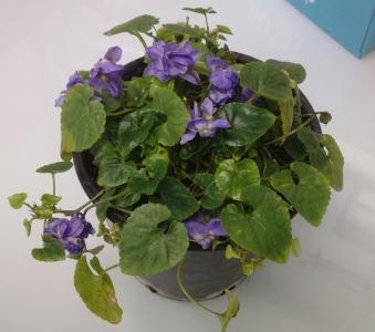 Pot de violettes