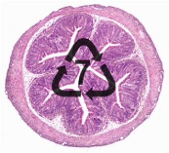 BPA - Intestin