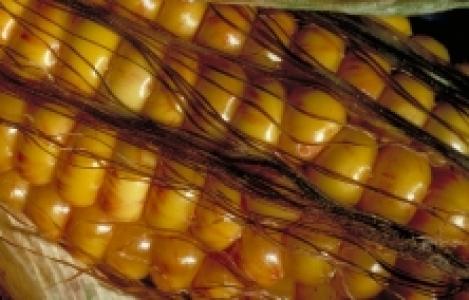 Epi de maïs
