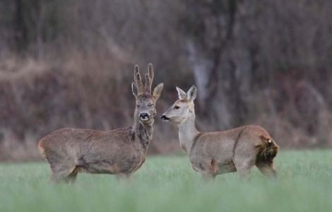 A case study in roe deer