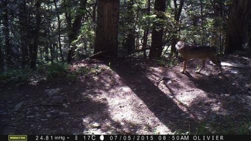 Photo d'un loup sauvage, enregistrée par un piège photo dans les Alpes, le 7/05/2015 à 8h50. O.J.