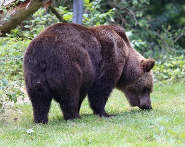 Brown bears show individuality in the distance they travel each day, their preference for daytime or night-time movement and other behaviours, according to research.