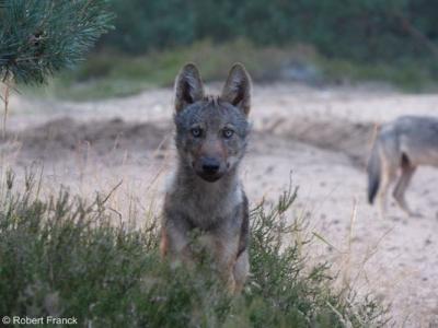 loup seul